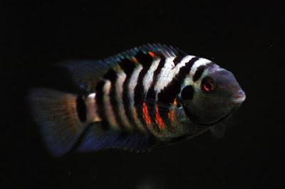 convict ikan hias air tawar