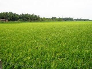 padi,cara menanam padi,rice,kedah,kelantan,imej sawah padi,sawah