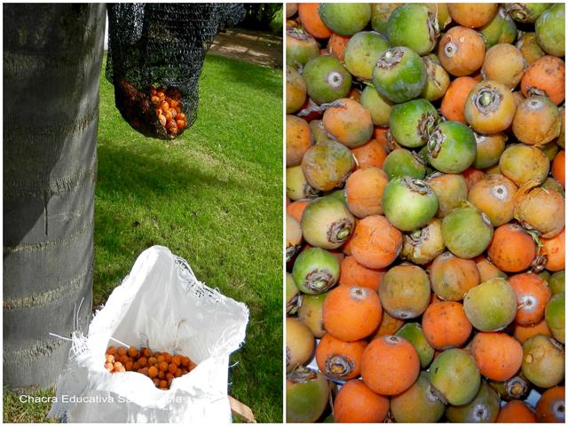 Recolectando frutos maduros de pindó - Chacra Educativa Santa Lucía