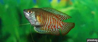 Keistimewaan Ikan Tidak Hanya Dimakan