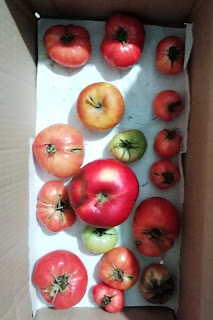 Green tomatoes turning red with the help of apples