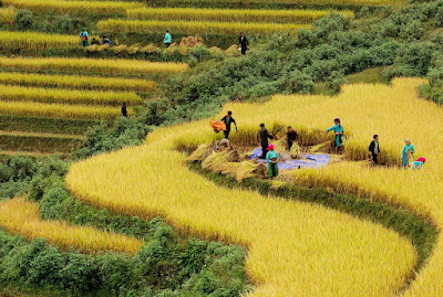 the golden colour of ripen terraces