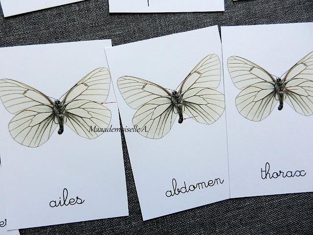 || Cartes de nomenclature : Anatomie du papillon