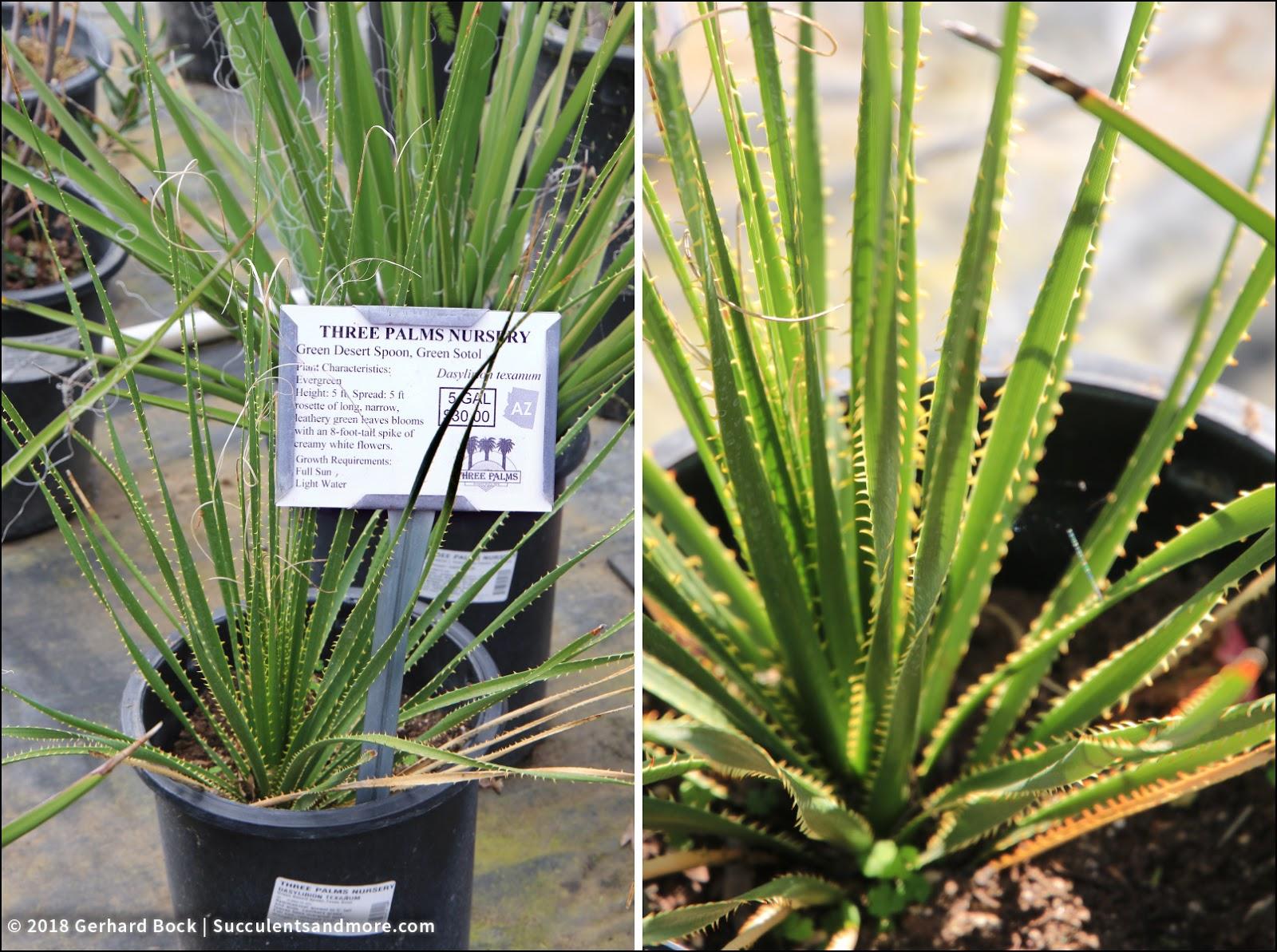 Dasylirion Texanum A Greener Version Of The More Common Desert Spoon D Wheeleri