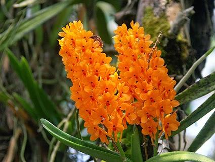 oranye menyala khas anggrek kebutan