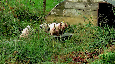 Piglets on the HenSafe Smallholding