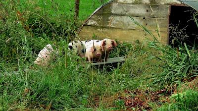 Piglets on the HenSafe Smallholding