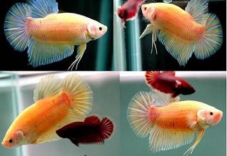 Ikan Cupang Terbesar
