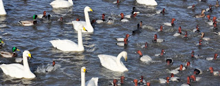 Swans and pochards
