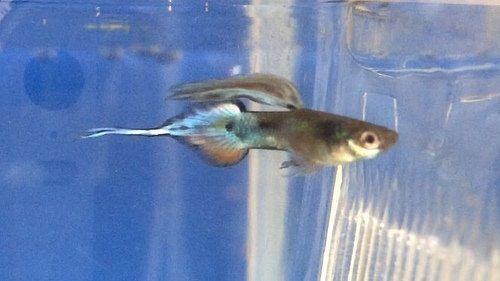 Gambar Gambar  Ikan Guppy Pintail
