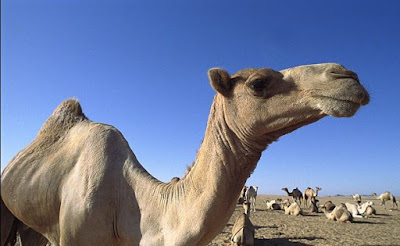 Camel in the desert with other cames lying down
