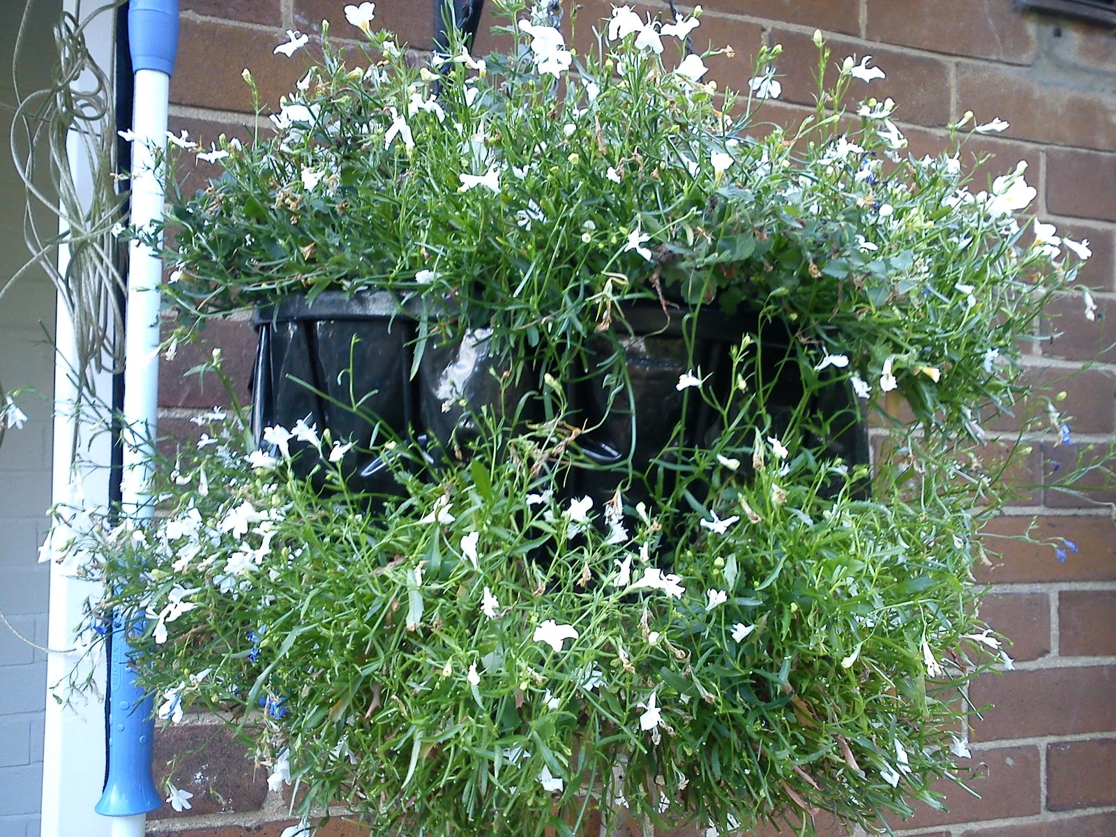 Trimming Trailing Lobelia Gardeners Word