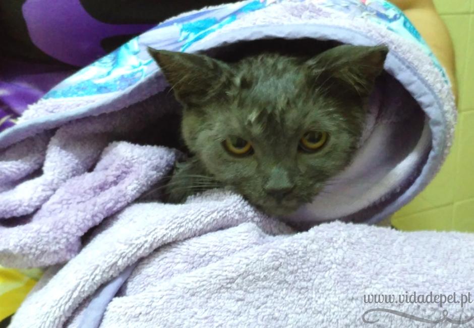 É necessário dar banho a um gato + dar banho ao gato faz mal + blogue português + animais de estimação + gatos + felinos + animais domésticos + dicas + vida de pet .pt + pedro e telma