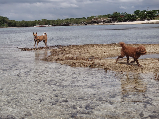 our dogs playing at stilts calatagan