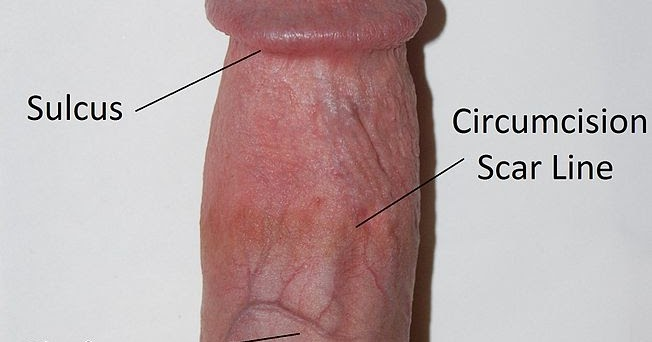 Physiology Of Penis 44