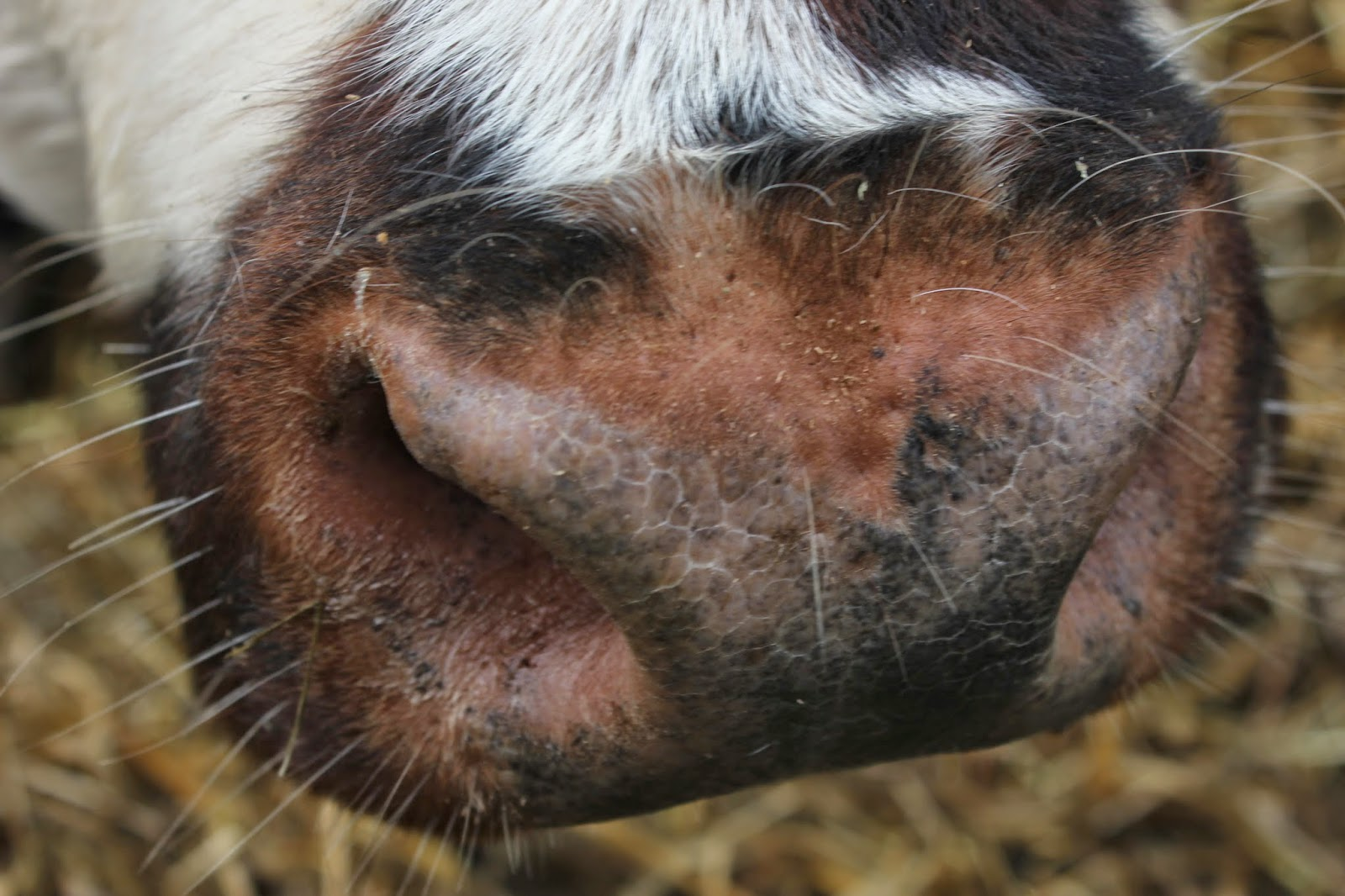 organic normandie cow's nose