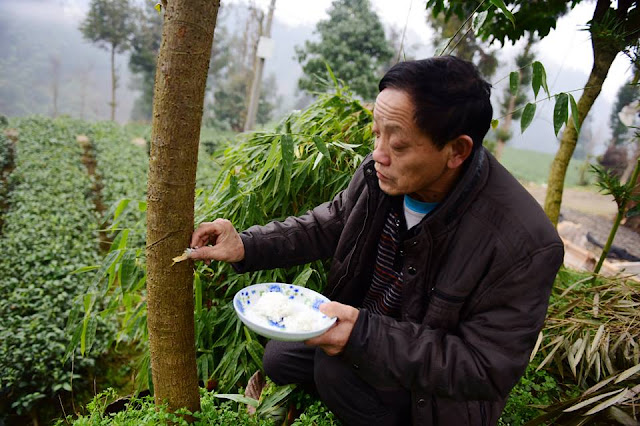 "Chinese villagers ""feed"" rice to trees"