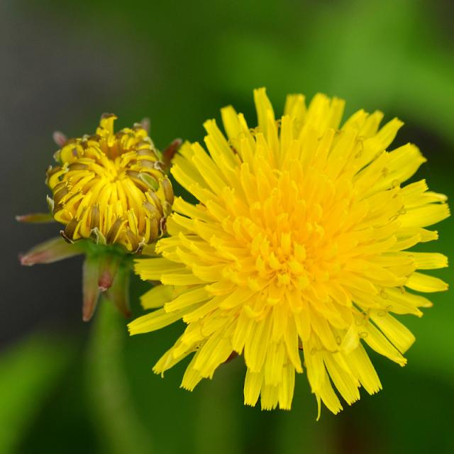 Yellow dendelion