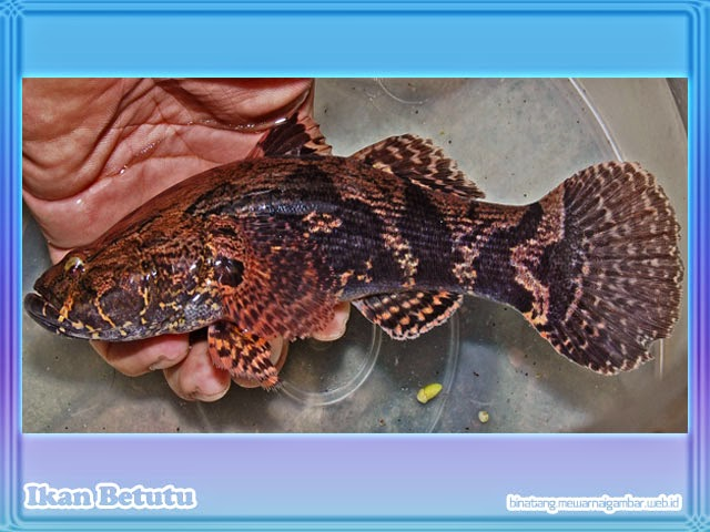 gambar ikan betutu