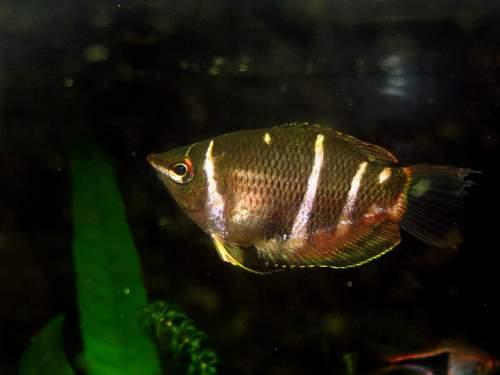 Gourami - Sphaerichthys osphromenoides