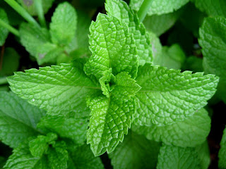 mint leaves(podina) health benefits in urdu