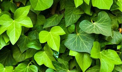 Cao khô Lá thường xuân là thành phần chính của thuốc ho Prospan
