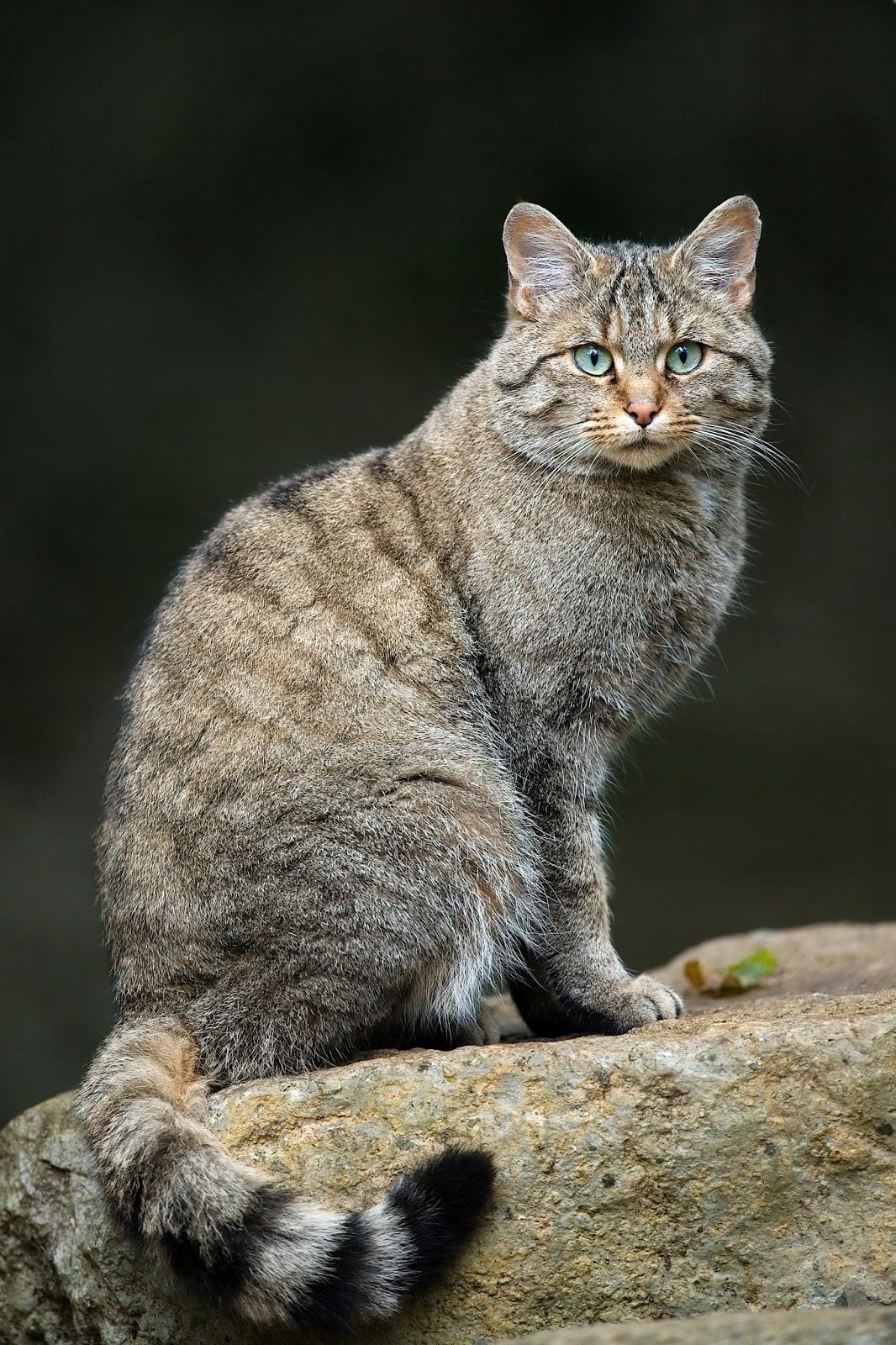 Mammals Animals: Felis silvestris silvestris Luc Viatour
