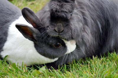 Rabbit Grooming Each other
