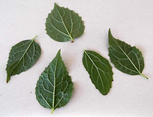 leaves, printing with leaves