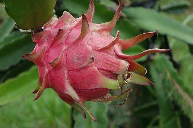 Khasiat dan manfaat buah naga untuk kesehatan tubuh