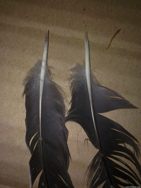 Cách nhận biết chim cu gáy đực