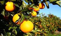 Orange grove icing
