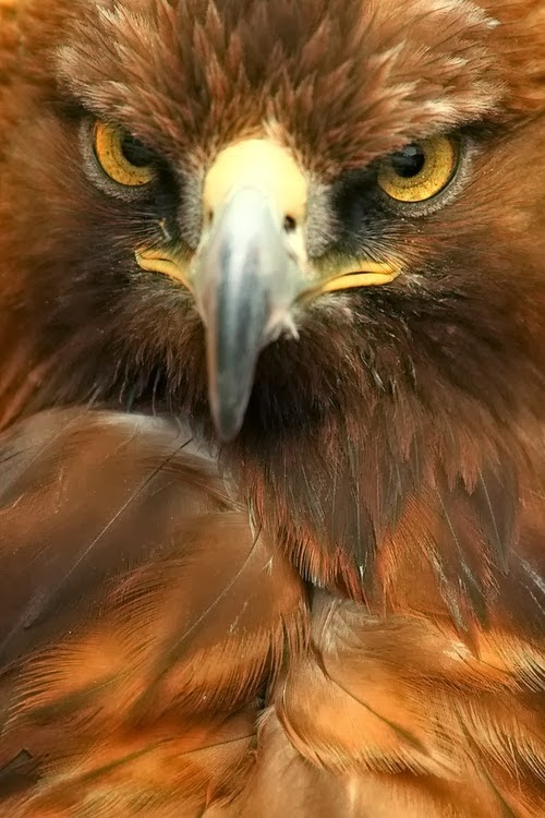 Golden Eagle -  NATURE OF THE WORLD