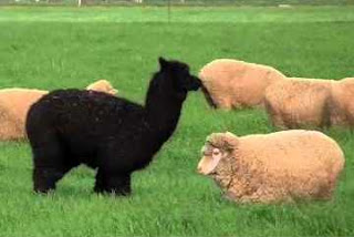 black alpaca and a white sheep