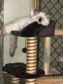 Image of Prince, seal-point ragdoll kitten, sleeping in cat tower.