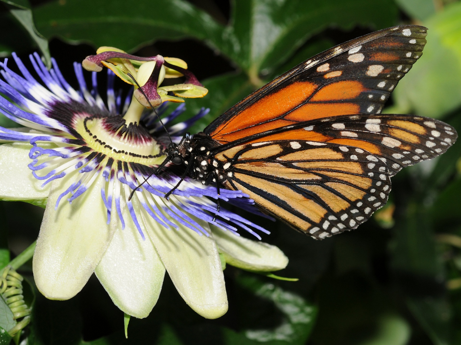 Butterfly Wallpapers ~ Top Best HD Wallpapers for Desktop
