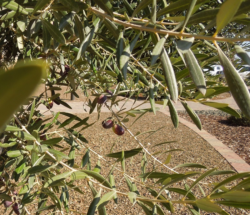Olives at Niner's Heart Hill Location, Nov. 19, 2015, © B. Radisavljevic