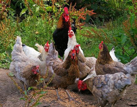 Ayam Mati Mendadak