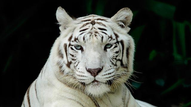 30 Fakta Menarik Tentang Harimau