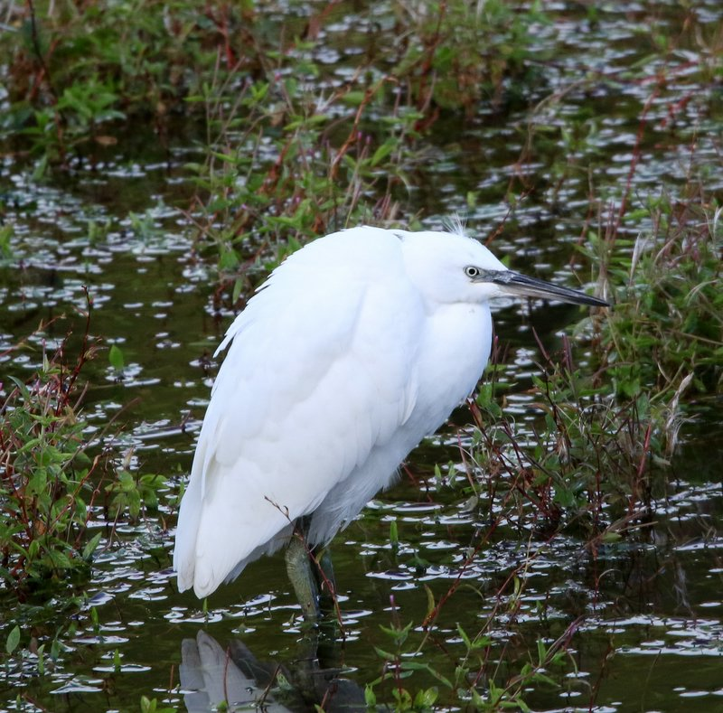 Ogden Little Egret