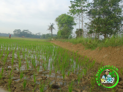 FOTO 5 :  Pengairan Tanaman Padi TRISAKTI  di sawah Tegalsungsang, Pagaden Barat, Subang, Jawa Barat.