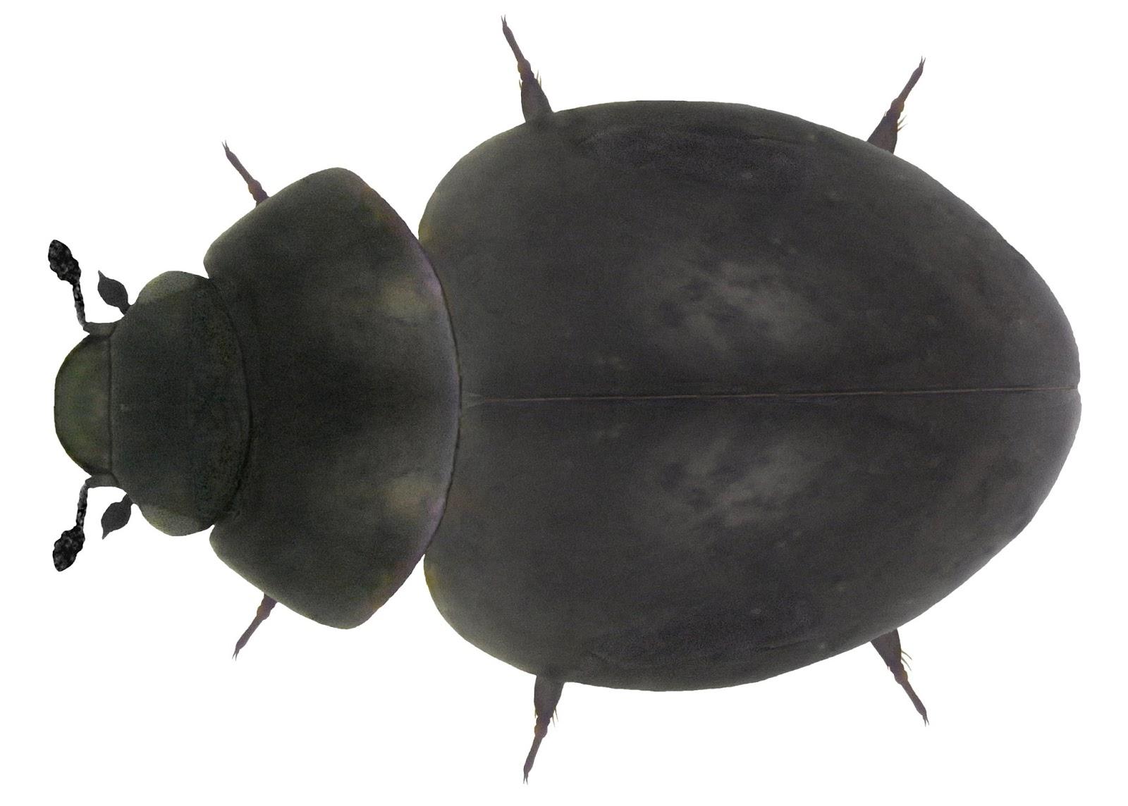 american beetles volume i archostemata myxophaga adephaga polyphaga staphyliniformia