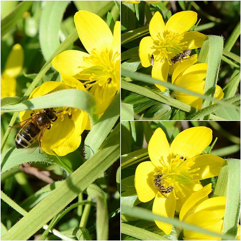 aconit d'hiver abeille à miel halicte