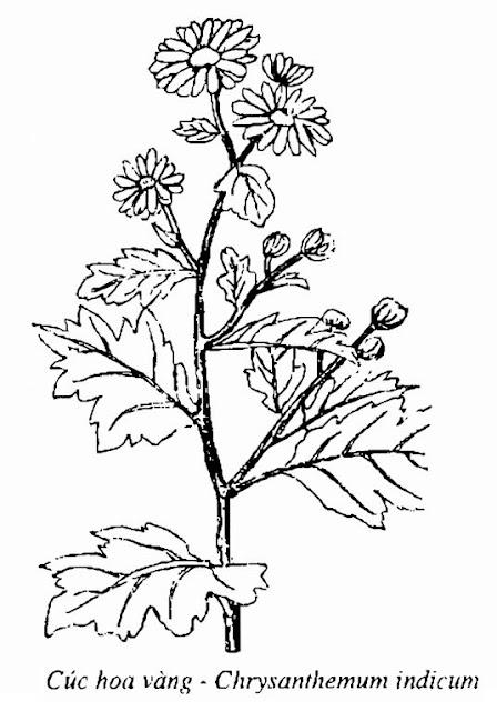 Hình vẽ Cúc Hoa Vàng - Chrysanthemum indicum - Nguyên liệu làm thuốc Chữa Cảm Sốt