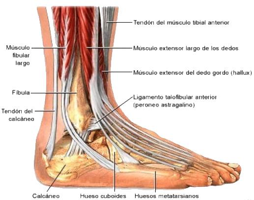 Resonancia de tobillo y la importancia anatomica ~ INRA