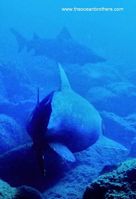 Kleinzahn-Sandtigerhai – Odontaspis ferox 04