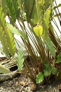Calathée velours - Calathea rufibarba