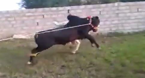 qurbani cow running 2017 - photo #17
