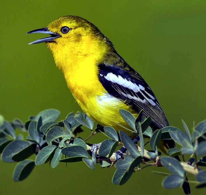 Tips Cara Merawat Burung Cipoh Cipow Sirtu Sirpu Cito Sito Agar Rajin Berkicau Gacor Hobi Si Petani