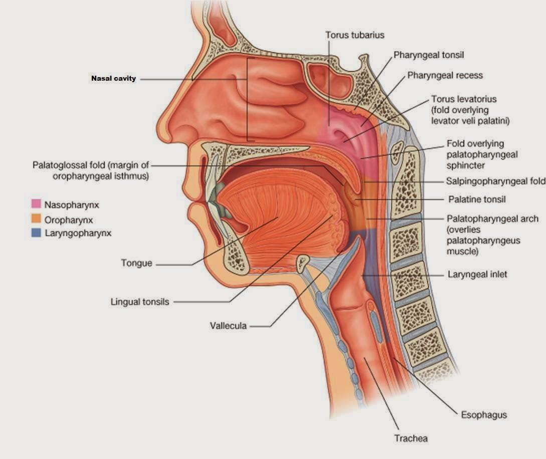 Oral Nasopharynx 37